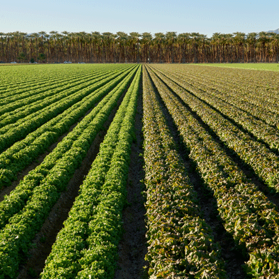 OMF-Coachella-Leaf-Lettuce-MH-1770