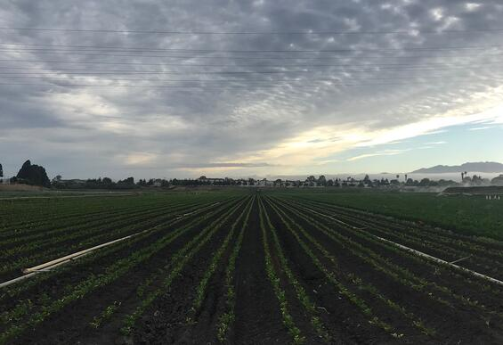Ocean Mist Organic- Morning Celery Field