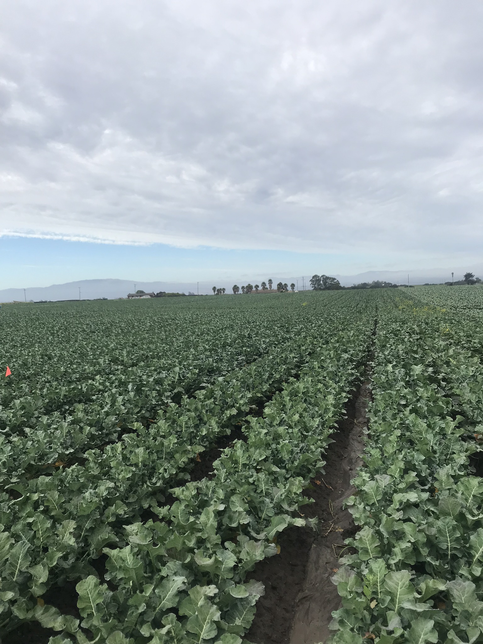 Ocean Mist Organic- Broccoli Field