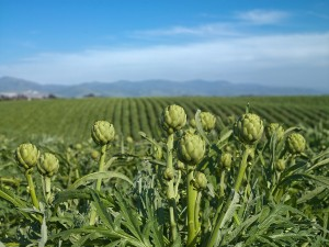 OMF_HEIRLOOMARTICHOKES.FIELD