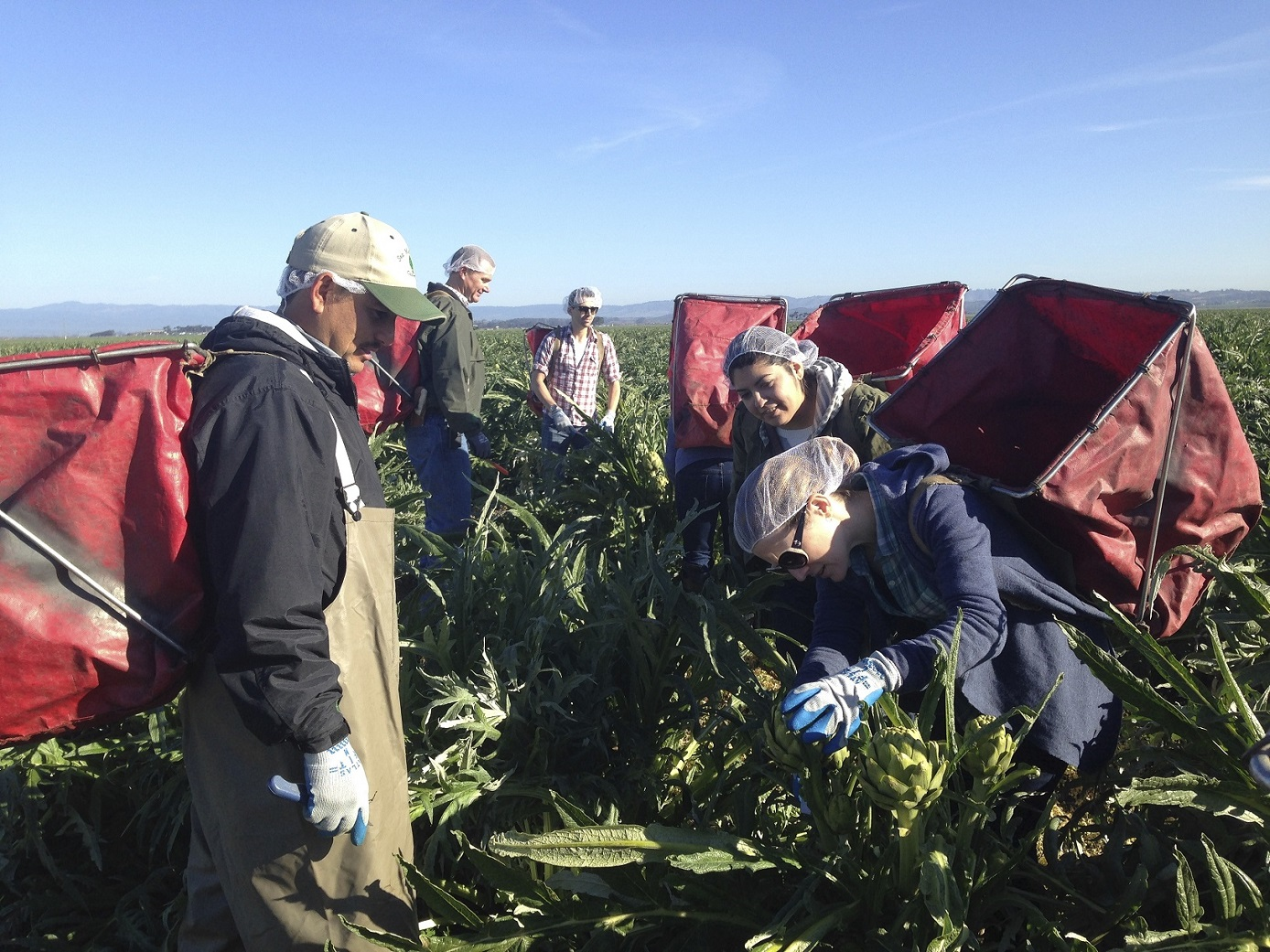 Team from Maude trying hand at harvesting Ocean Mist Farms Heirloom Artichokes in Castroville