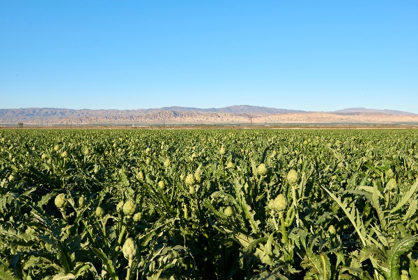 Ocean Mist Farms_Coachella_Artichoke Field-1