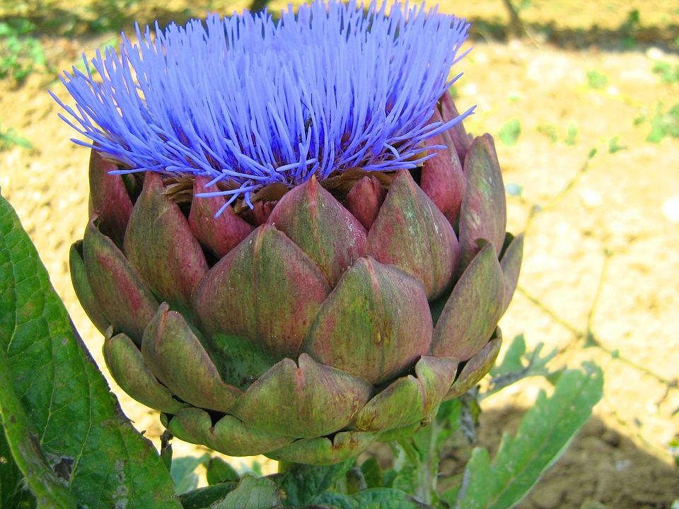 artichoke flower-1.jpg