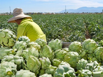 worker picking artichokes