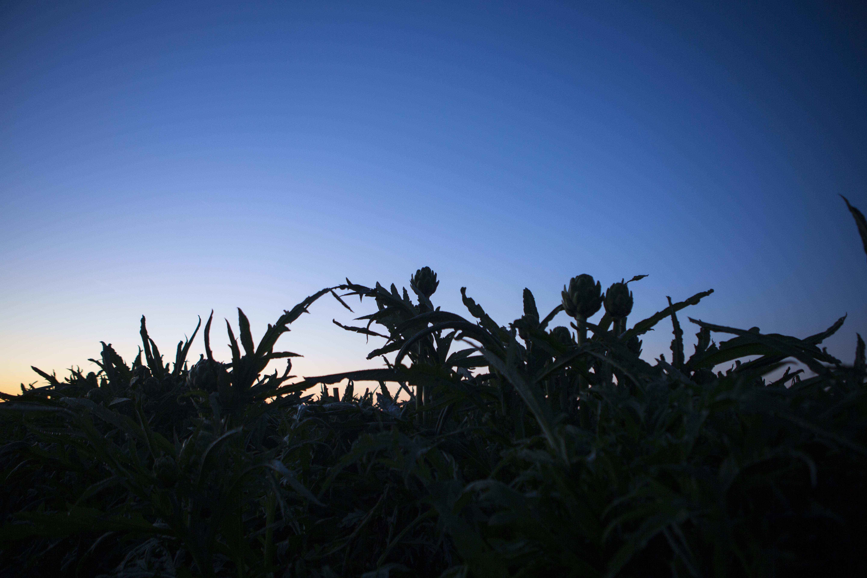 OMF-dawn-artichokes-horizon