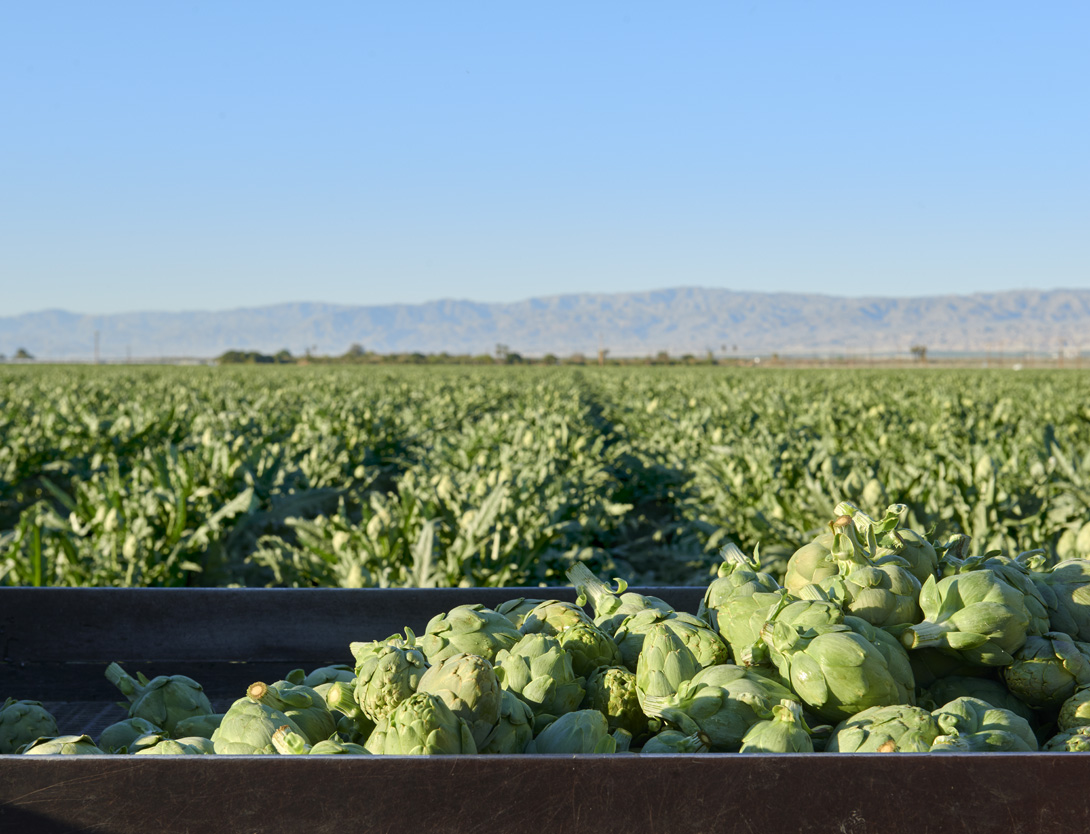 Ocean Mist Farms_Coachella_MHarveyPhoto_1360