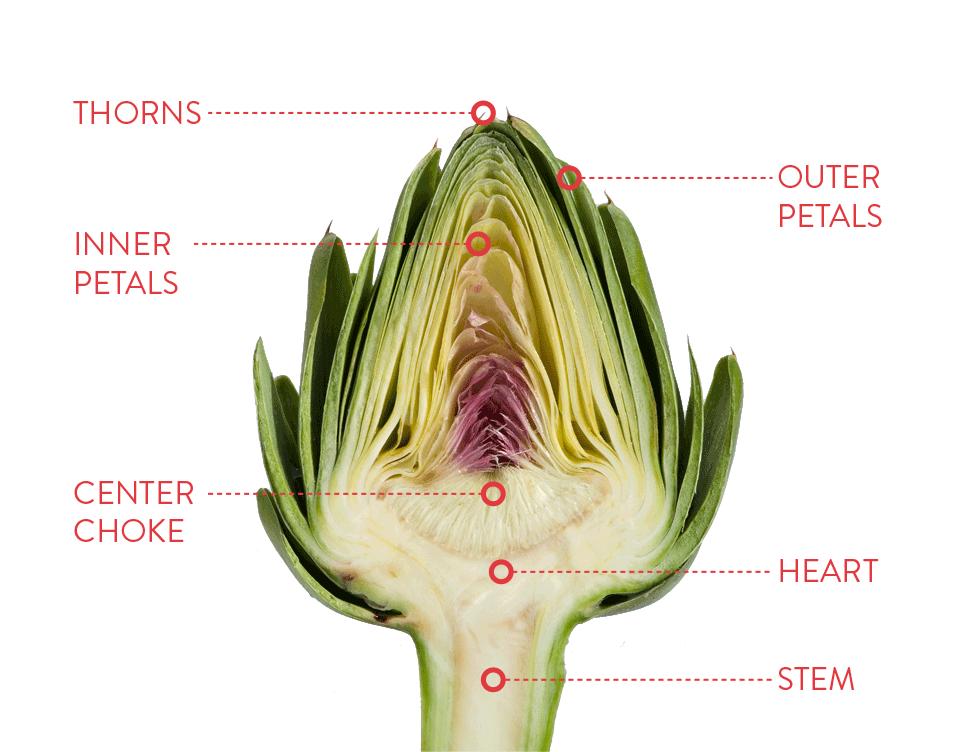 Anatomy of an Artichoke | Ocean Mist Farms