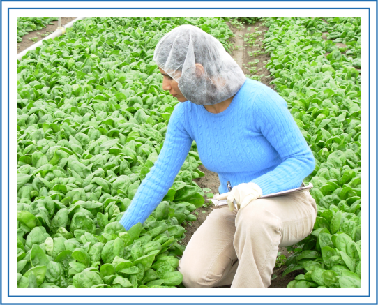 worker inspecting a crop
